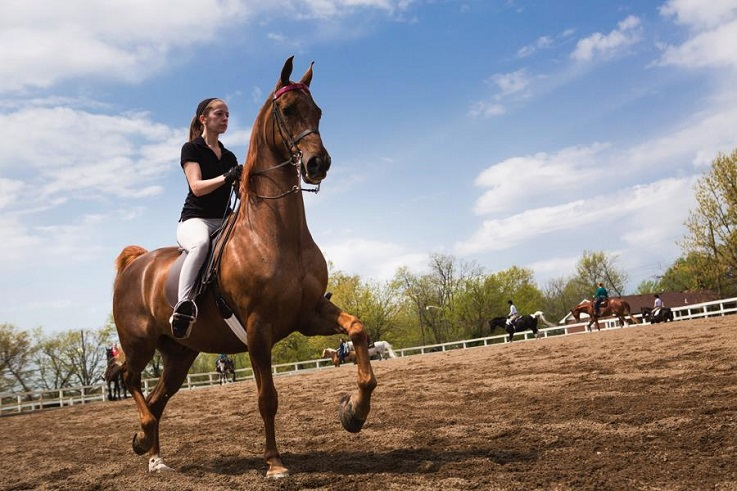 Bachelors in equestrian students prepare for saddle seat competition.