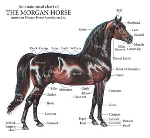 Anatomical chart of a Morgan horse.